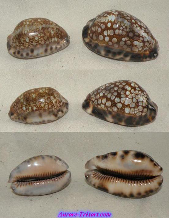 coquillage porcelaine Cypraea