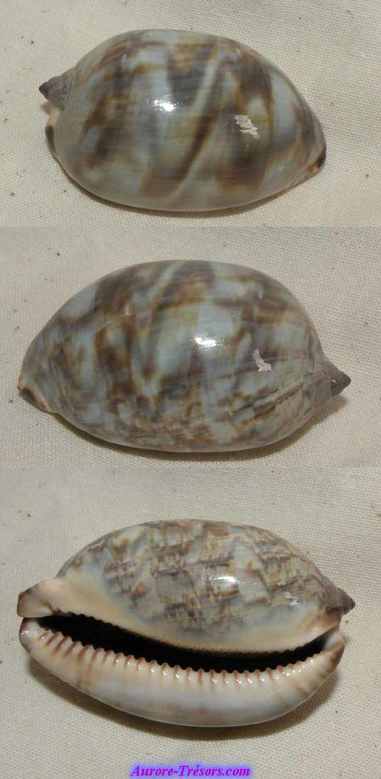 coquillage porcelaine